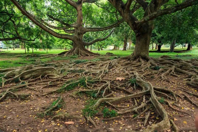 Большие корни над поверхностью стоковые изображения
