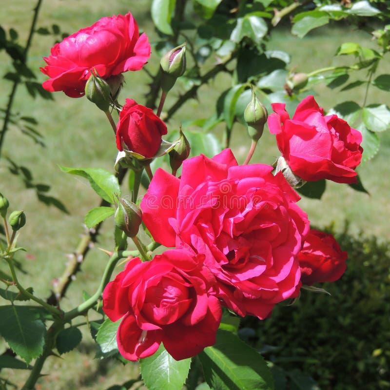 Большие красные розы в саде на предпосылке зеленого конца-вверх листьев стоковое фото rf