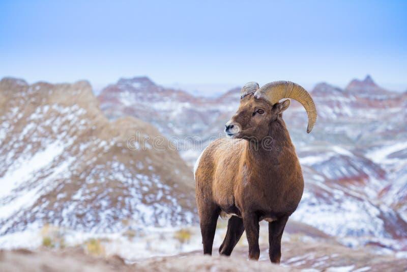 Большие овцы рожка в неплодородных почвах Южной Дакоты стоковая фотография