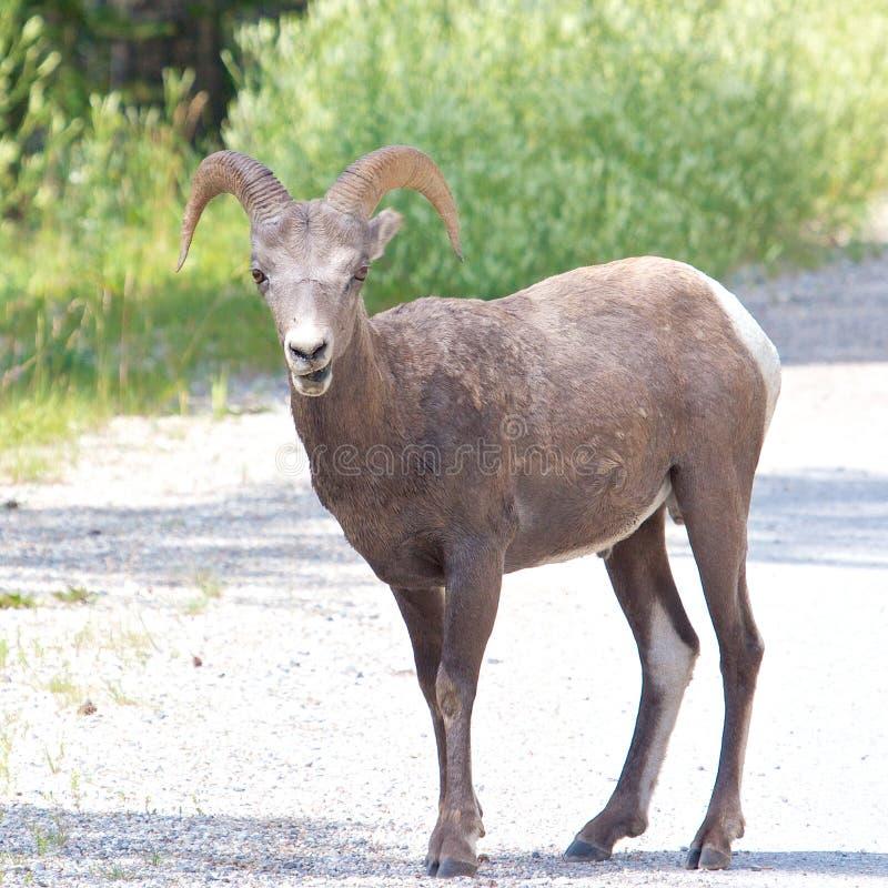 Большие овцы рожка на дороге стоковые фото
