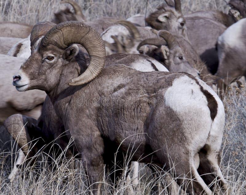 Большие овцы рожка стоковое изображение rf