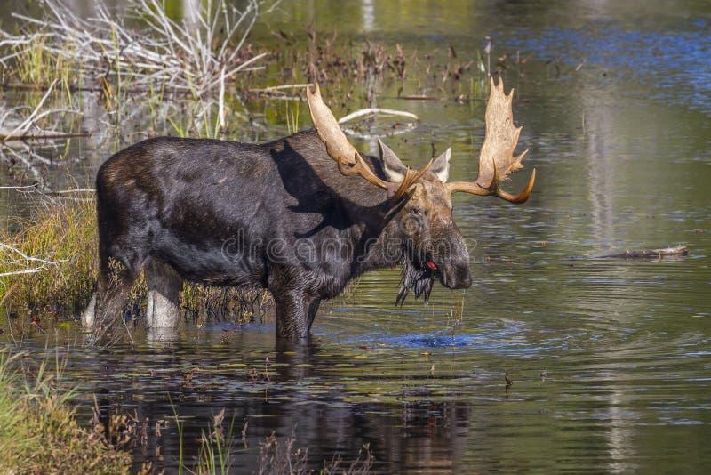Большие лоси Bull подавая на лилиях воды в осени стоковое изображение rf