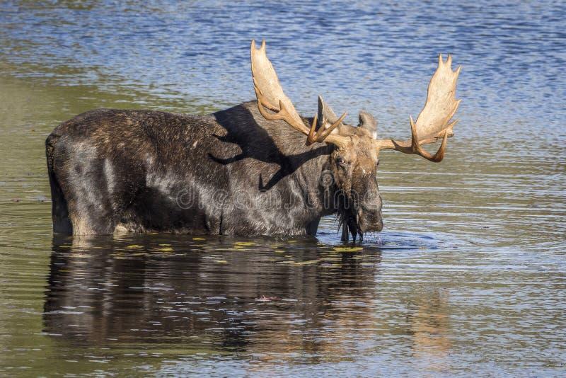 Большие лоси Bull фуражируя на крае озера в осени стоковая фотография rf
