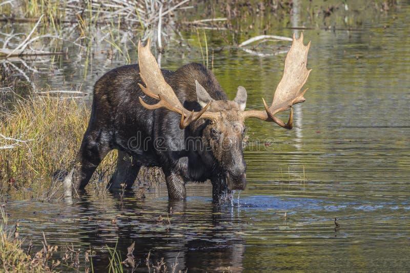 Большие лоси Bull фуражируя на крае озера в осени стоковые изображения rf
