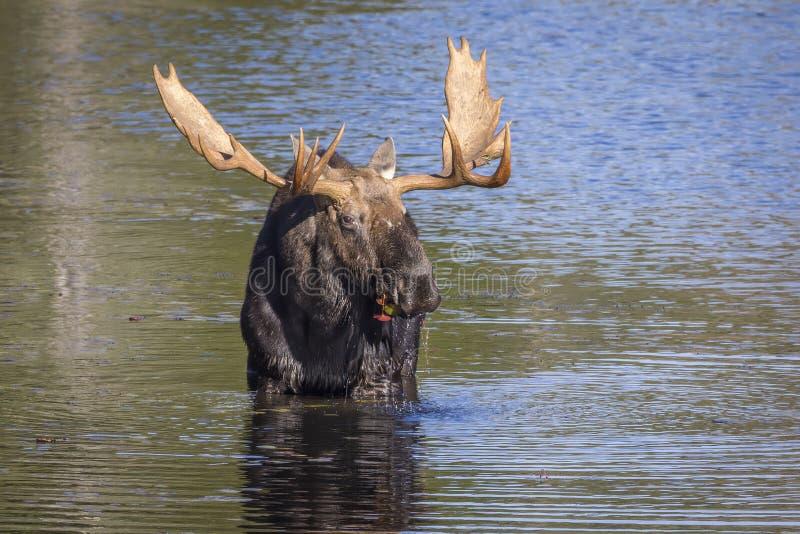 Большие лоси Bull фуражируя на крае озера в осени стоковые изображения