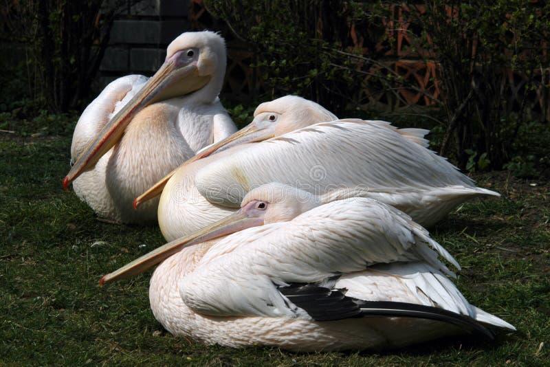 большие пеликаны белые стоковая фотография rf
