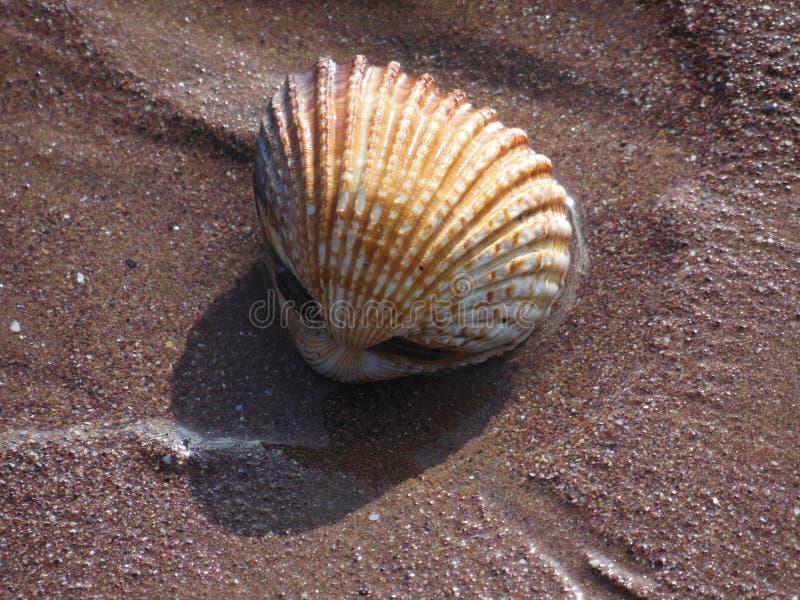 Большие раковины моря раковины куколя на песке стоковые изображения