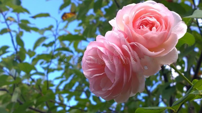 Большие розовые розы против голубого неба стоковые фото
