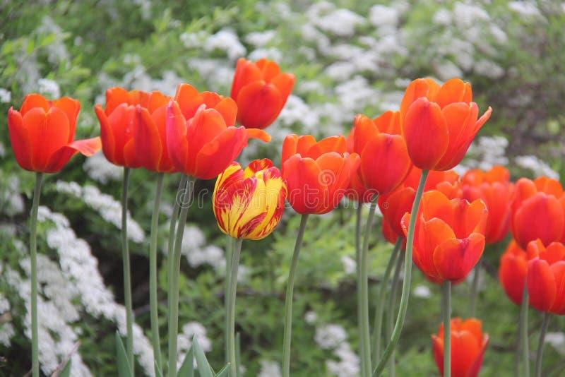 Большие тюльпаны мира стоковое изображение rf