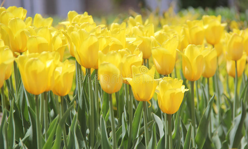 Большие тюльпаны мира стоковые изображения