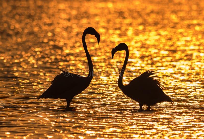 Большие фламинго на восходе солнца стоковое фото