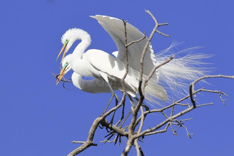Большие цапли делая гнездо стоковое фото