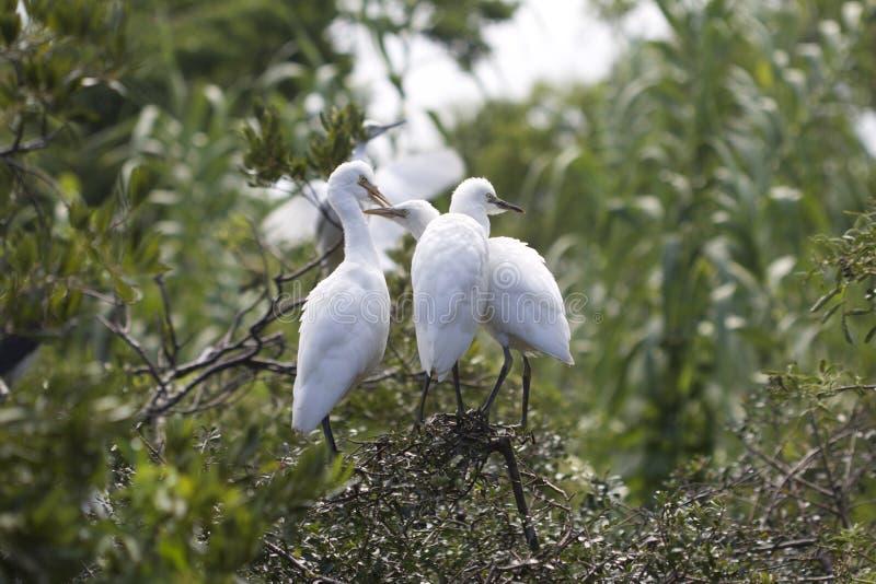 3 больших младенца Egret стоковые изображения rf