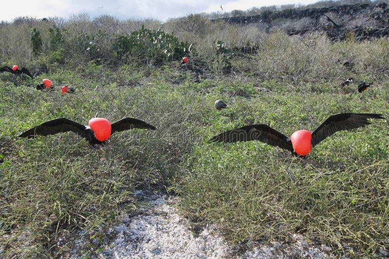 Download 2 больших птицы фрегата стоковое изображение. изображение насчитывающей exposing - 41660207