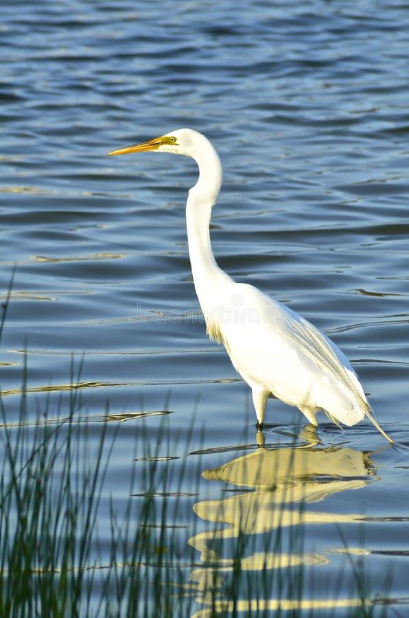 Большое белое звероловство Egret для завтрака стоковые изображения rf