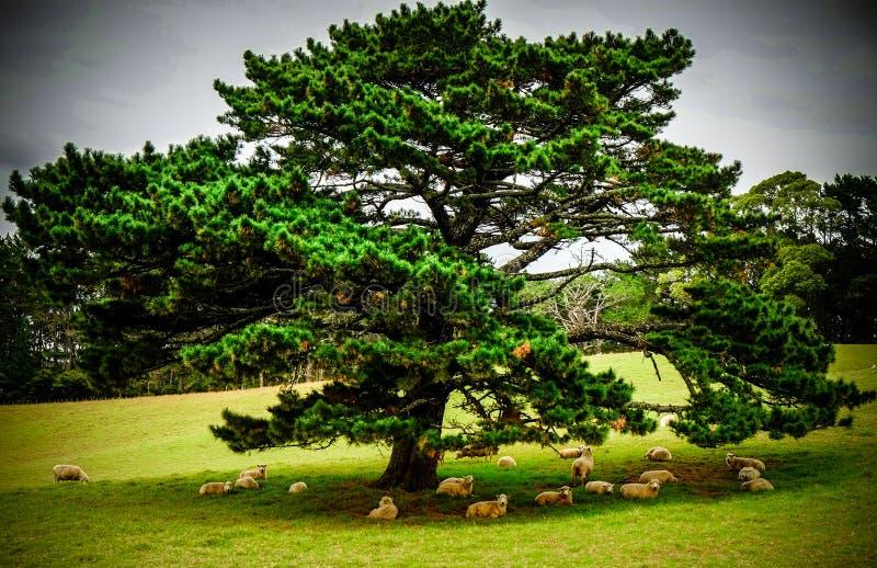 Большое дерево давая тень к табуну овец стоковые изображения