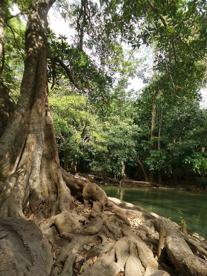Большое дерево вдоль зеленого потока водопада стоковое фото rf