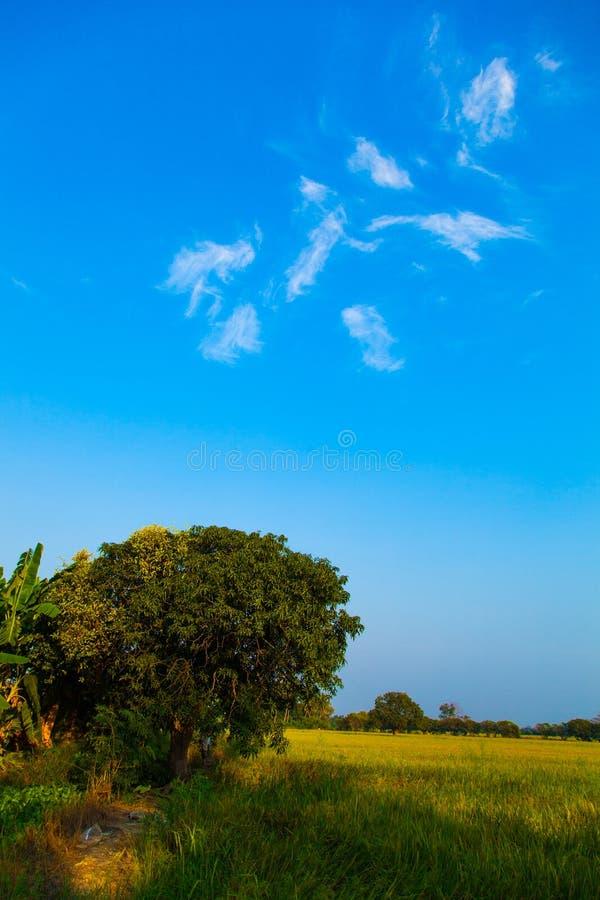 Большое дерево в полях риса. стоковые изображения