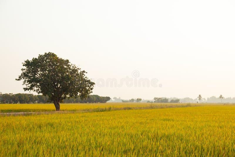Большое дерево в полях риса. стоковые изображения rf