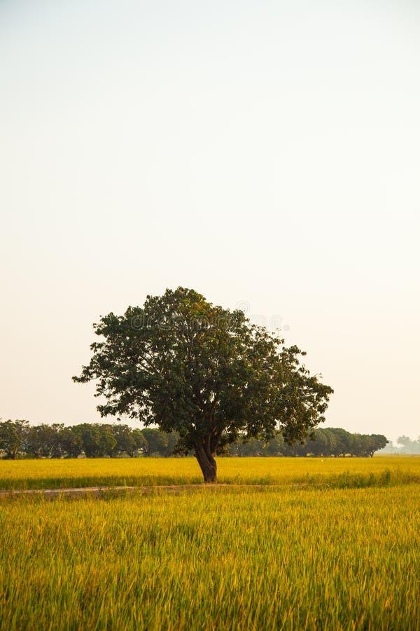 Большое дерево в полях риса. стоковое изображение