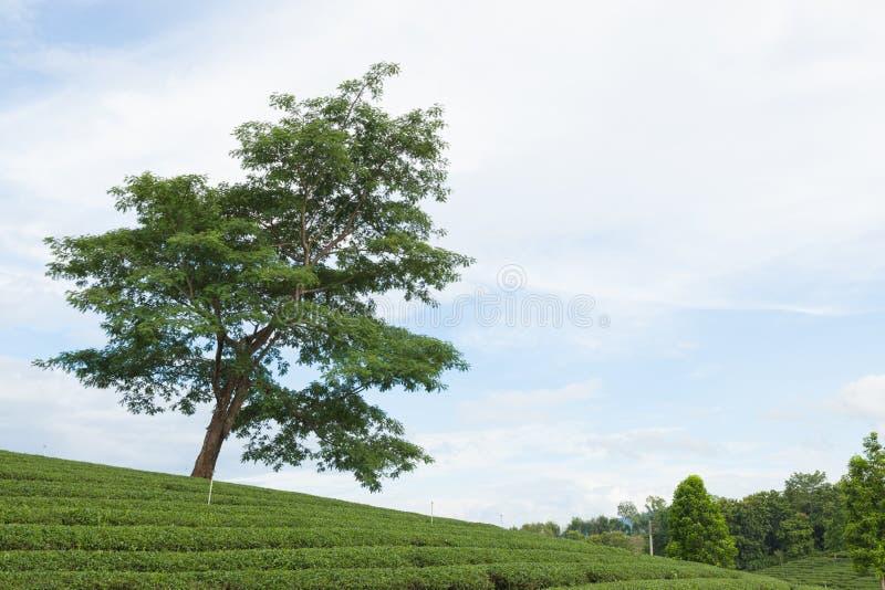 большое дерево в плантации чая стоковые изображения