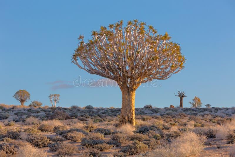 Большое дерево колчана стоковые изображения