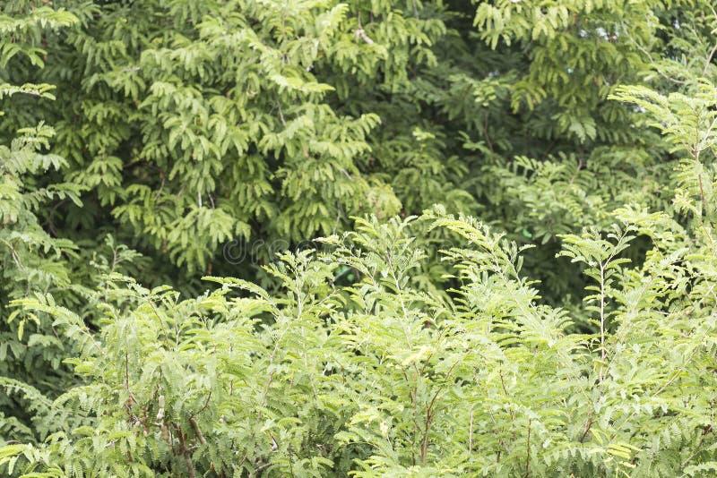Большое дерево тамаринда стоковое изображение rf