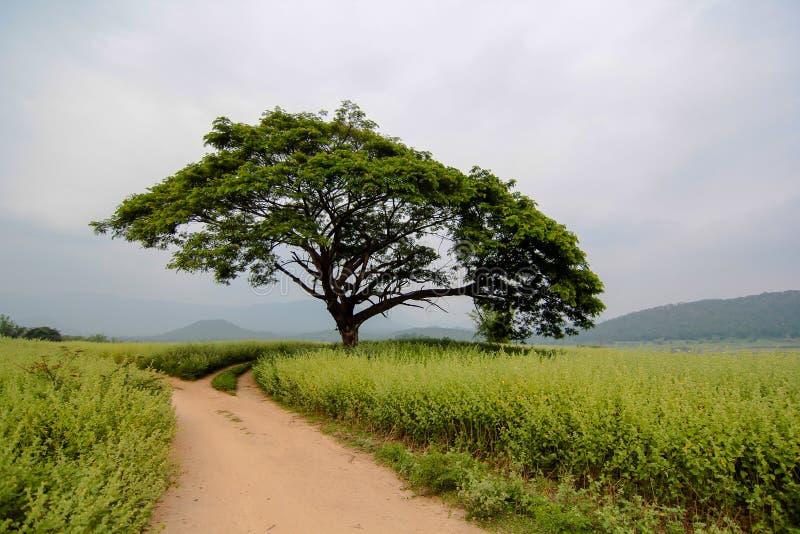 Большое дерево стоковая фотография