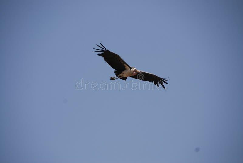 большое летание птицы стоковая фотография rf