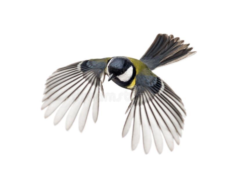Большое летание синицы стоковое изображение
