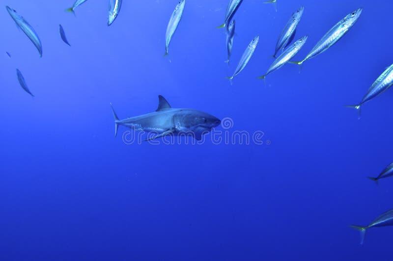 Большое звероловство белой акулы стоковые изображения