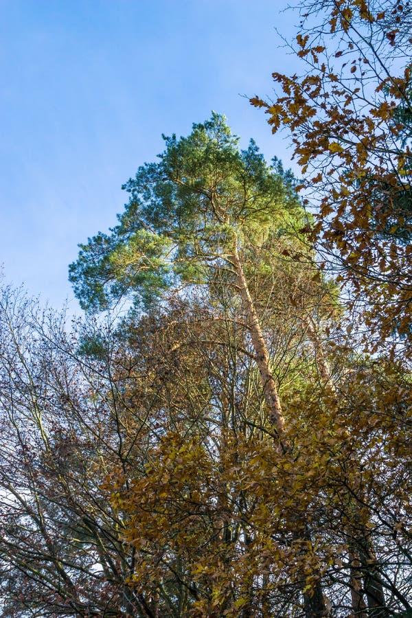 Большое зеленое дерево в осени, падении стоковые фото
