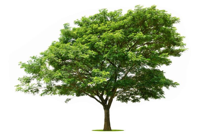 Большое зеленое дерево ярко на белизне стоковое изображение