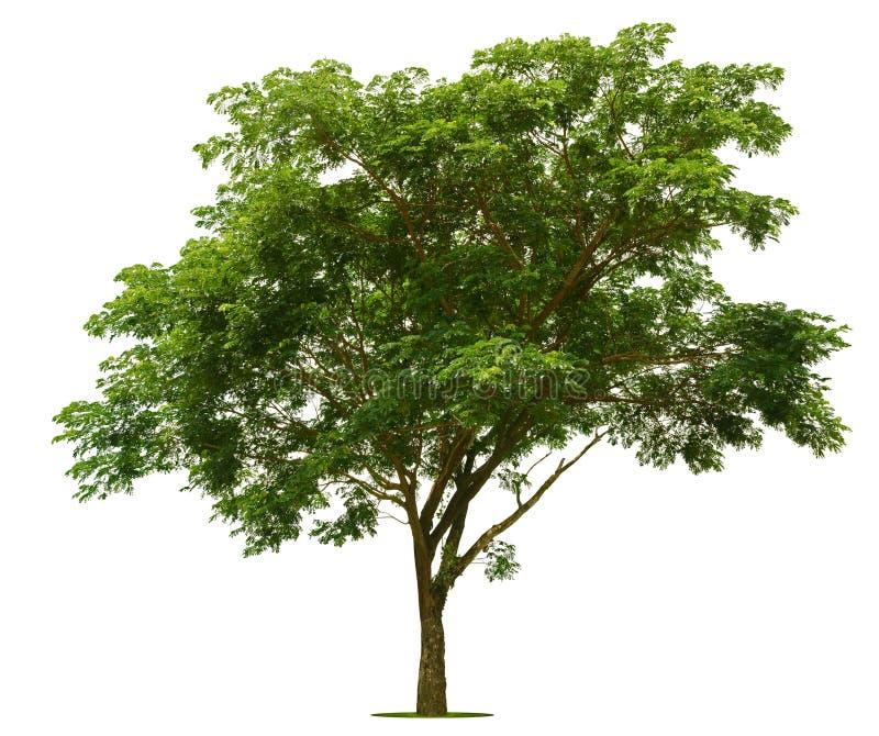 Большое зеленое дерево ярко на белизне стоковые фотографии rf