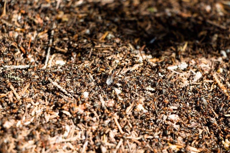 Большое количество муравьев в anthill стоковое изображение rf