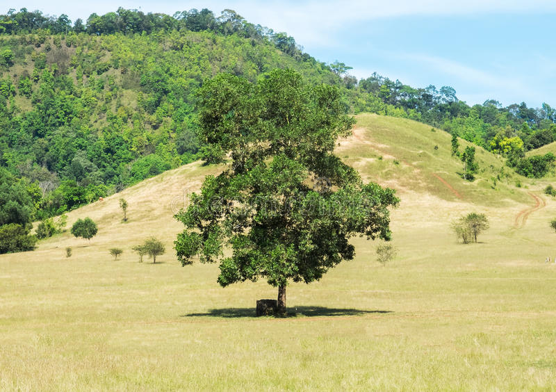 Большое одиночное дерево стоя самостоятельно в зеленом поле и Handmade стуле под тенью большого дерева для туриста стоковое фото