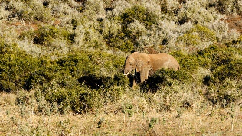 Большое поле с африканским слоном куста стоковое изображение