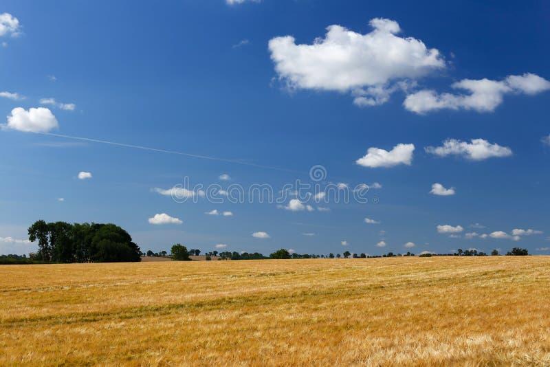 Большое поле ячменя & голубое небо стоковая фотография rf