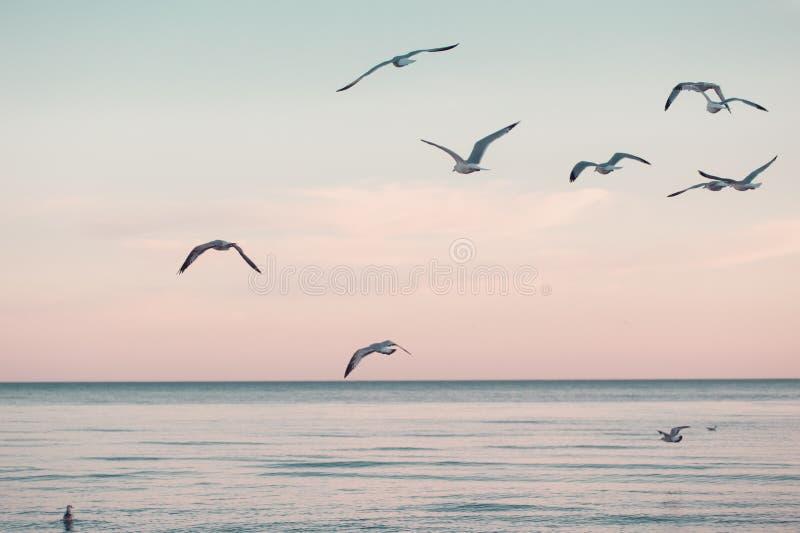 Большое стадо группы чайок на воде и летании озера моря в небе на заходе солнца лета стоковая фотография rf