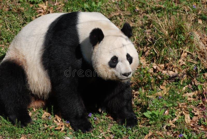 Большое черно-белое усаживание медведя гигантской панды стоковое изображение rf