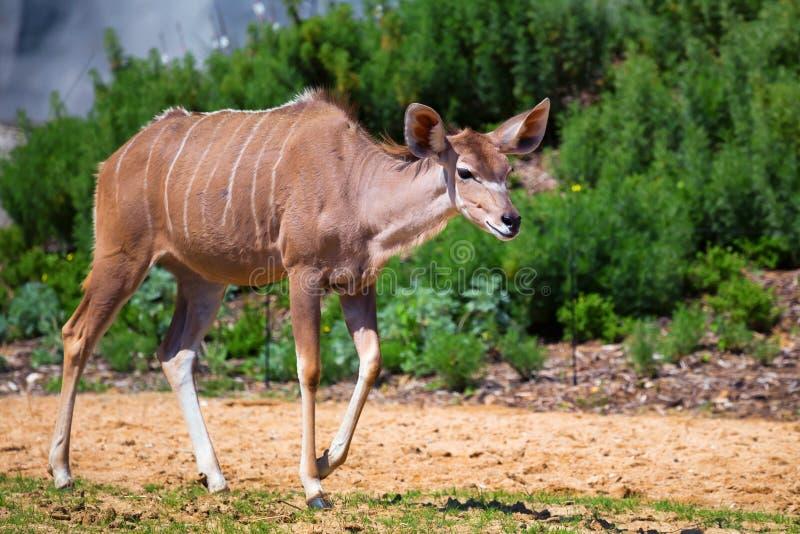 большое kudu стоковое изображение rf