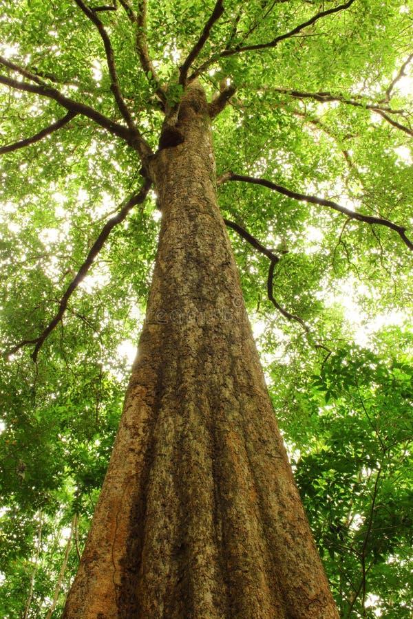 Большое malayana Irvingia дерева стоковое фото