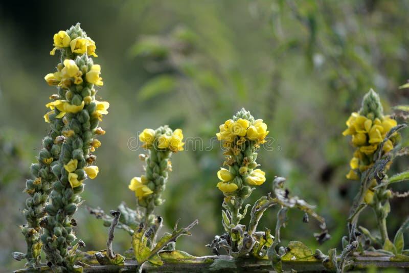 Большое mullein (thapsus Verbascum) стоковое изображение rf