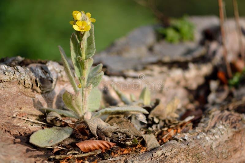 Большое mullein (thapsus Verbascum) стоковое фото