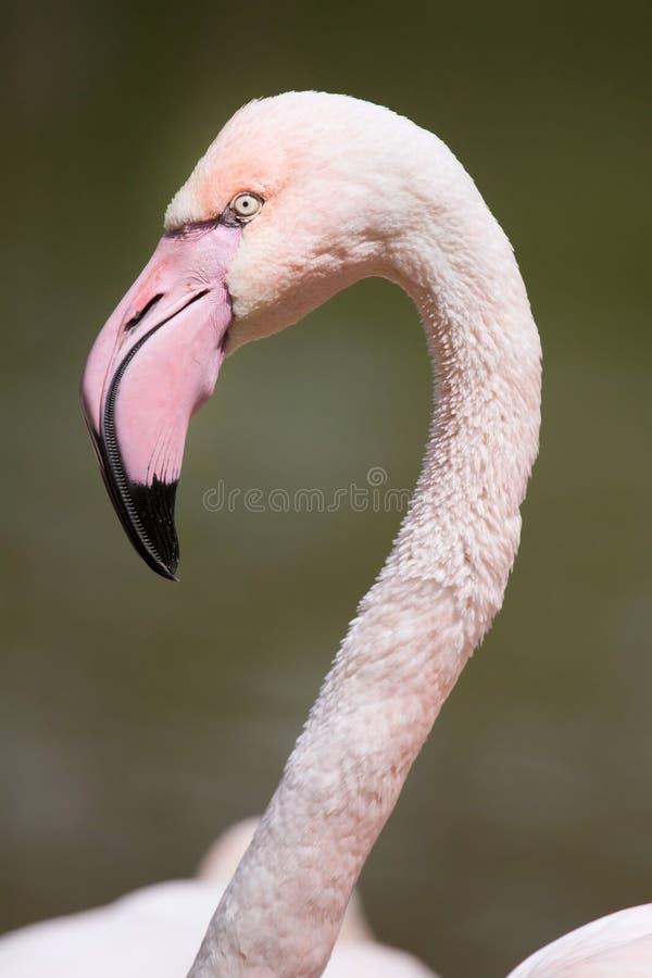 Download Большое Roseus Phoenicopterus фламинго Стоковое Изображение - изображение насчитывающей естественно, израиль: 81810165