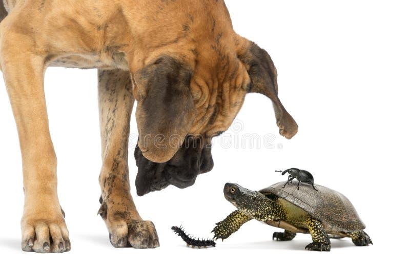 Большой датчанин смотря черепаху и насекомых стоковое фото