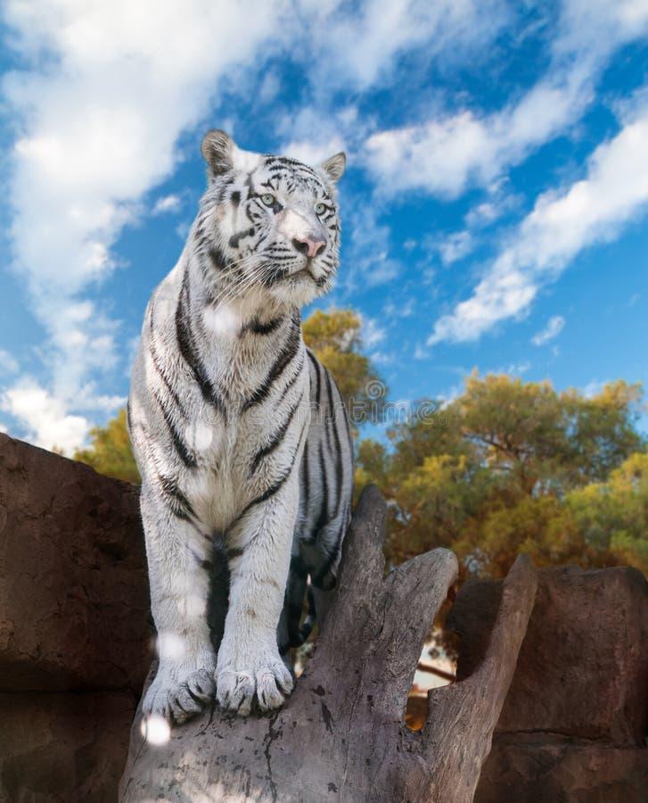 Большой белый тигр Бенгалии стоковые фотографии rf