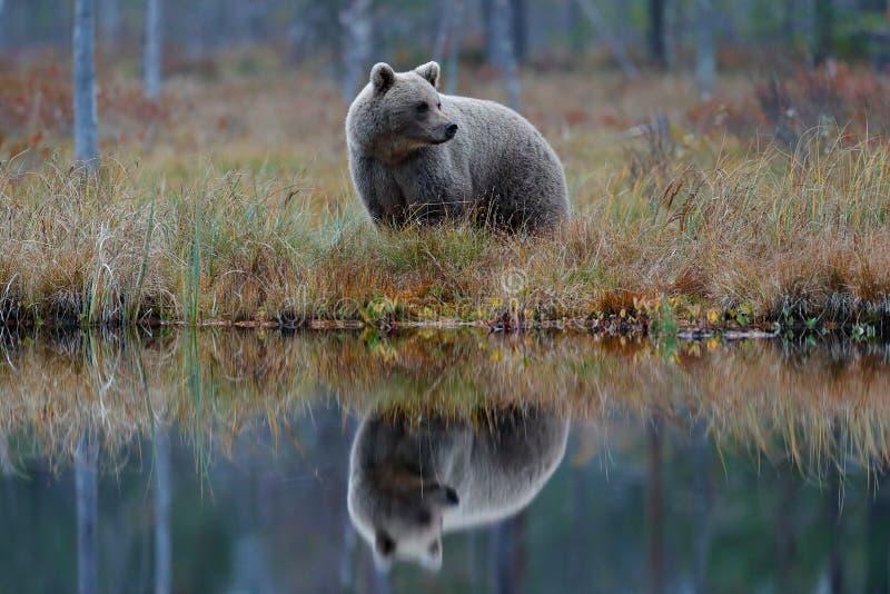 Большой бурый медведь идя вокруг озера с зеркальным отображением Опасное животное в сцене живой природы леса от Европы Птица Брай стоковые изображения