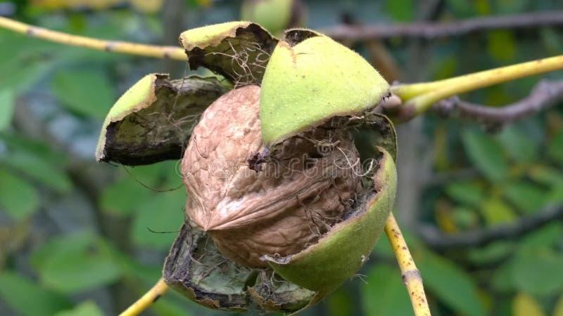 большой грецкий орех на дереве в саде стоковое изображение