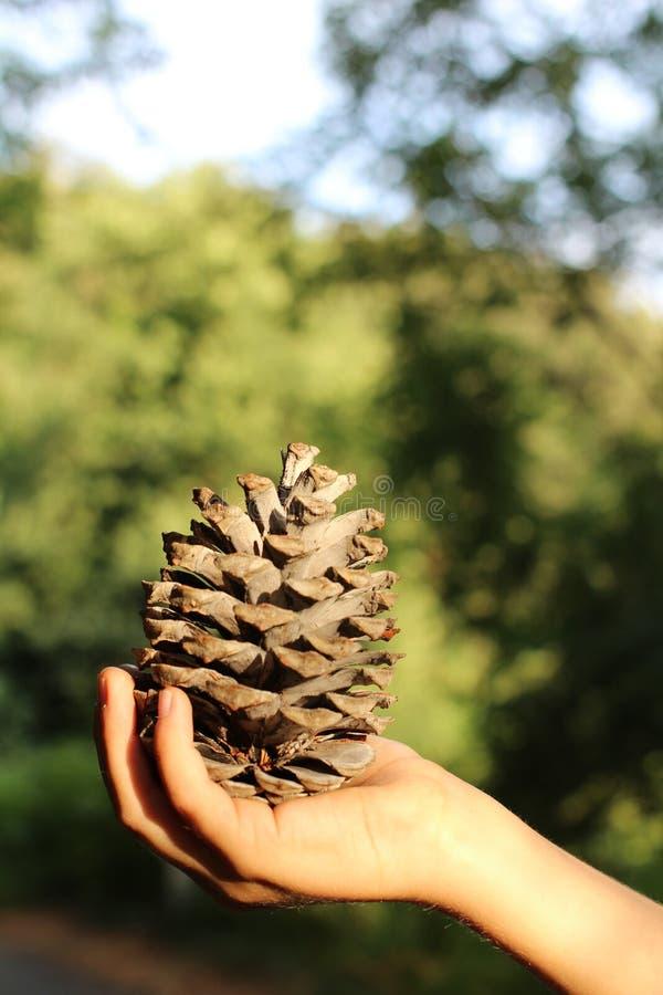 Большой ель-конус в руке ` s ребенка стоковые фотографии rf